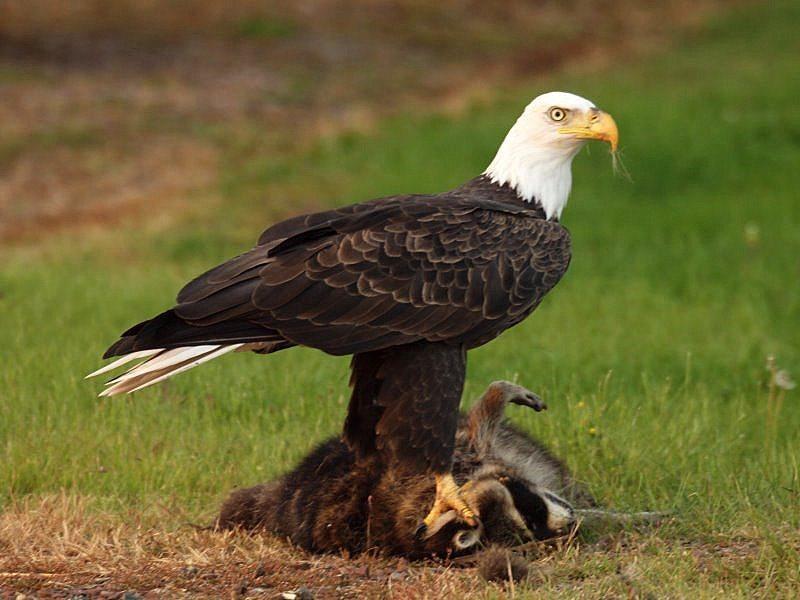 [Image: bald-eagle-2010-6.jpg]